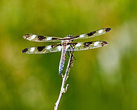 Dragonfly on a Twig. Image taken with a Nikon 1 V3 camera and 70-300 mm VR lens