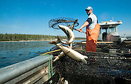 PRICE CHAMBERS / NEWS&amp;GUIDE<br /> Jake Junior dumps piles of lake trout into the back of a fishing boat, clearing the trap net positioned near a known spawning ground in Yellowstone Lake. Researchers believe the fish was introduced to area waters in 1994 and soon began displacing native cutthroat trout.
