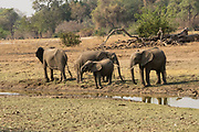 A herd of African Bush Elephants. Photographed at Lake Kariba, Zimbabwe