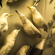 Seagull specimens on display at the Museum of Natural History in New York's Upper West Side neighborhood, adjacent to Central Park.