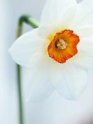 Narcissus 'Firetail' - daffodil