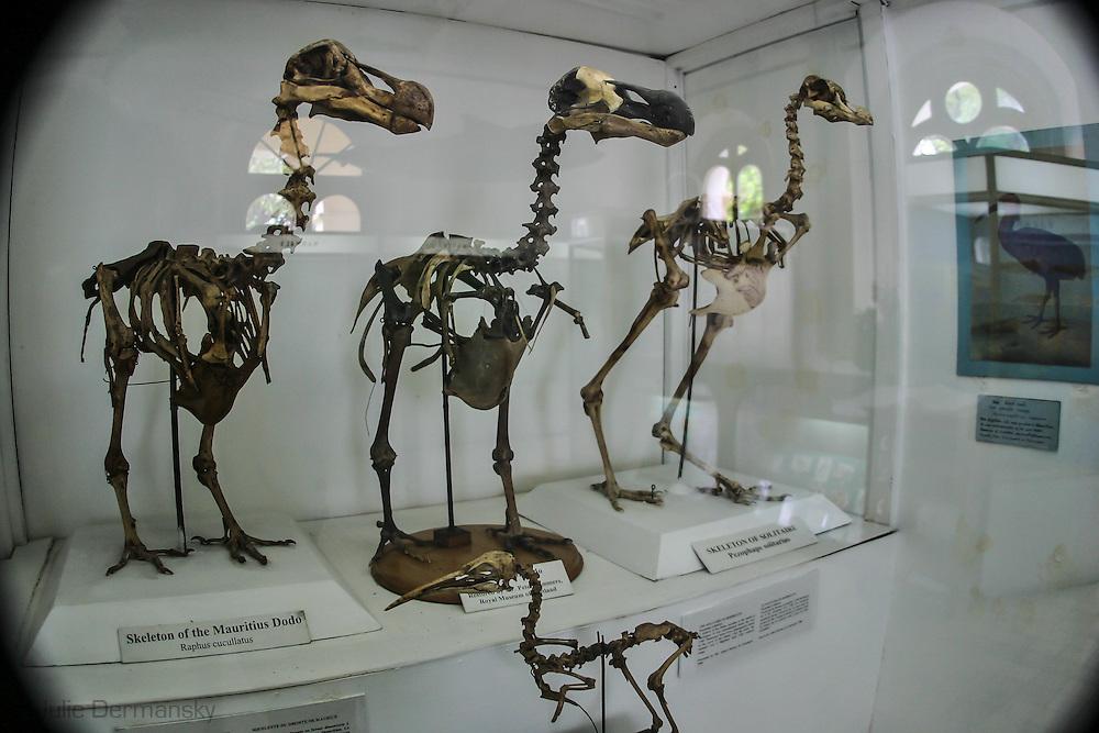Dodo bird skeletons in the Natural History Museum & Mauritius Institute in Port Louis, Mauritius