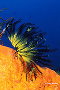 crinoid or feather star, Oxycomanthus bennetti, Kimbe Bay, New Britain, Papua New Guinea ( Bismarck Sea / Western Pacific Ocean )