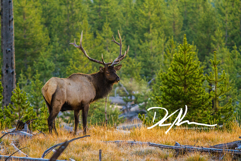 A lone bull elk stands near the forest in early morning light