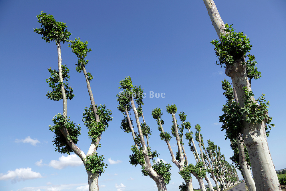 recently pruned trees France Languedoc