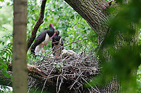 Black Storks, pair at nest, Ciconia nigra, Slovakia, Europe, Schwarzstorch am Nest, Ciconia nigra, Slowakei, Europa