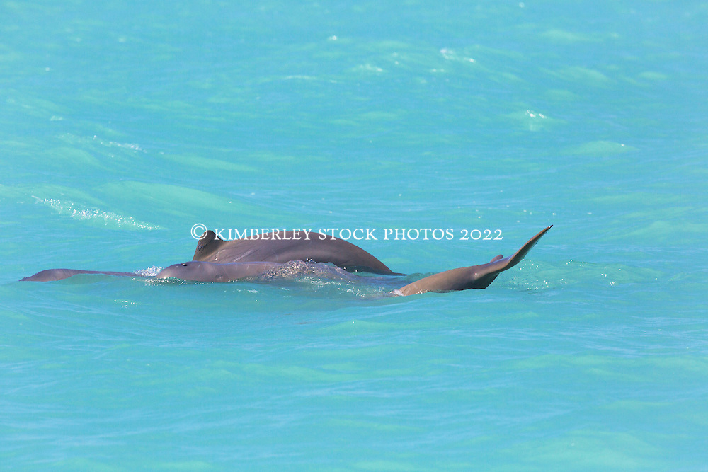 A small pod of Snubfin dolphins (Orcaella heinsonii) near Thangoo in Roebuck Bay.