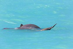 A small pod of Snubfin dolphins (Orcaella heinsonii) near Thangoo in Roebuck Bay.