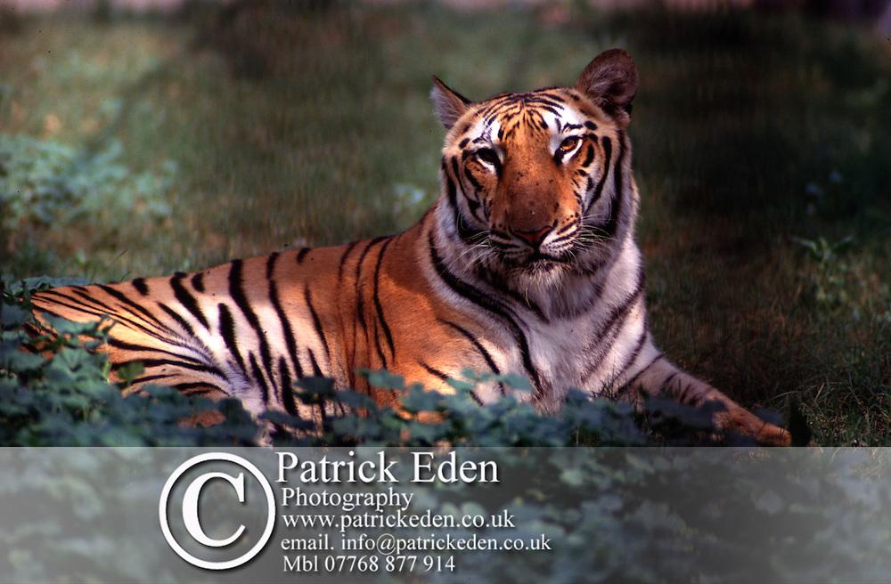 Bengal Tiger India © Patrick Eden