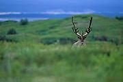 Caribou in velvet on tundra - Denali N.P., Alaska.
