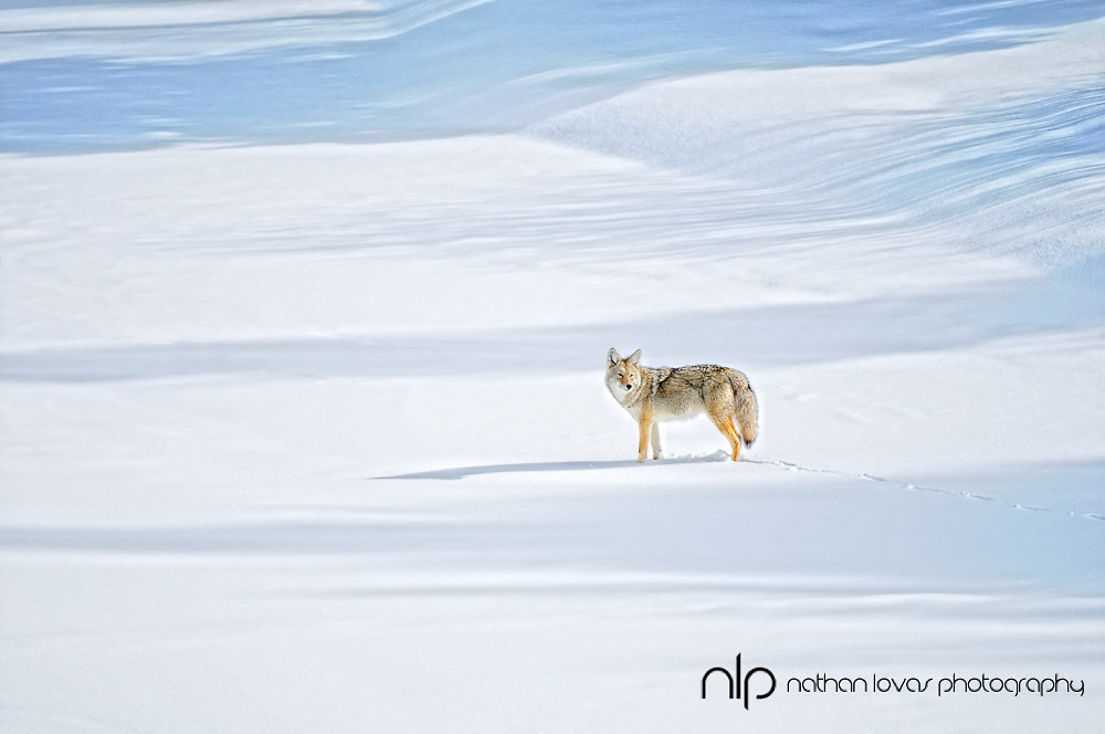 Cotyote standing on frozen river;  Yellowstone NP, in wild.