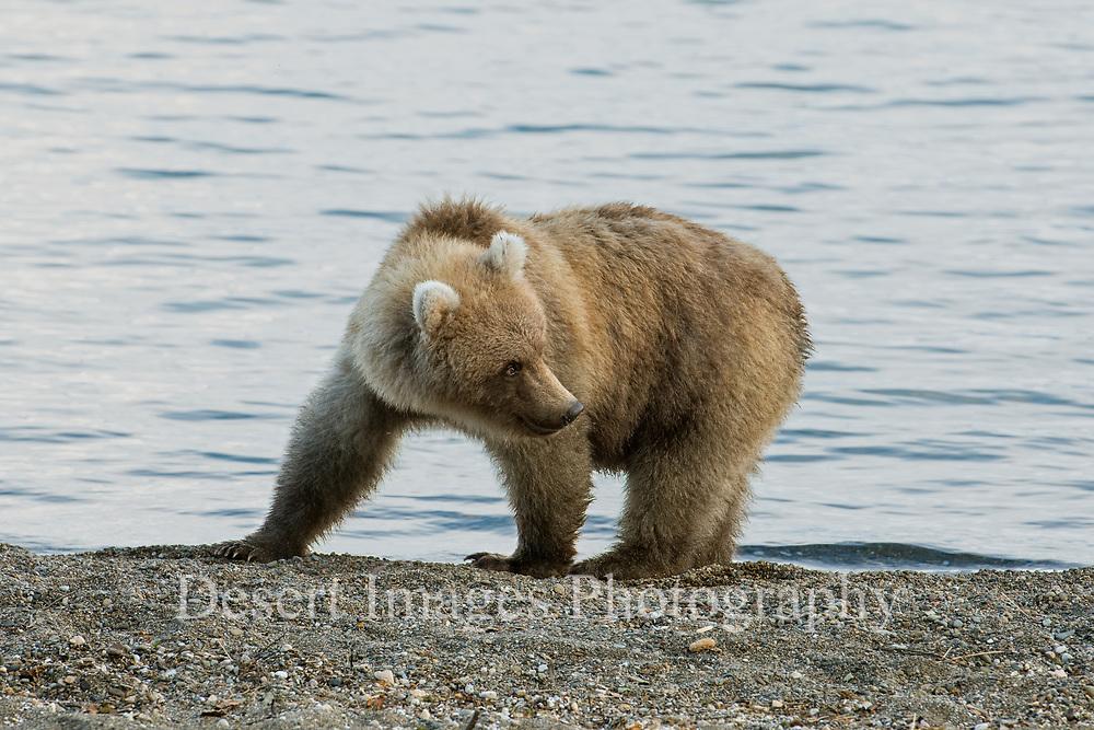 Coastal Brown Bear Cub<br /> Katmai National Park, Alaska