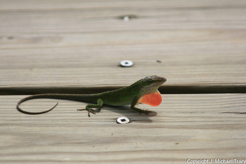 Common Anole or American Chameleon trying to attract a female by extending his red throat sac on a wooden deck.