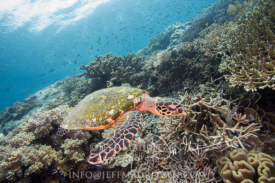 A Green sea turtle swims above a coral reef in Raja Ampat, Indonesia.