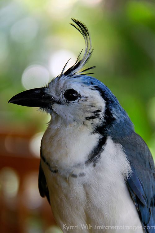 Central America, Costa Rica, Guanacaste, tamarindo. White-Throated Magpie Jay.