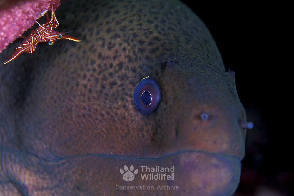 Giant Moray Gymnothorax javanicus and hinge beak shrimp at Lembeh Straits, Indonesia.
