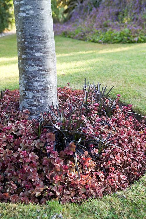 Tree underplanting including Ophiopogon planiscapus 'Nigrescens' (black mondo) and succulent
