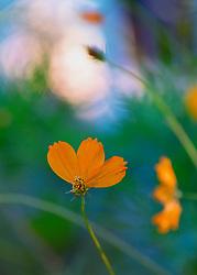 Broken Orange Petals Still Display Beauty From The Garden