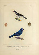 hand coloured sketch Top: Subspecies of White-bellied Seedeater (Sporophila leucoptera bicolor [Here as Pyrrhula bicolor]) Bottom: glaucous-blue grosbeak or Indigo Grosbeak (Cyanoloxia glaucocaerulea [Here as Pyrrhula glauco-coerulea]) From the book 'Voyage dans l'Amérique Méridionale' [Journey to South America: (Brazil, the eastern republic of Uruguay, the Argentine Republic, Patagonia, the republic of Chile, the republic of Bolivia, the republic of Peru), executed during the years 1826 - 1833] 4th volume Part 3 By: Orbigny, Alcide Dessalines d', d'Orbigny, 1802-1857; Montagne, Jean François Camille, 1784-1866; Martius, Karl Friedrich Philipp von, 1794-1868 Published Paris :Chez Pitois-Levrault et c.e ... ;1835-1847