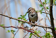 Song Sparrow (Melospiza melodia) with insects in beak, French Basin trail, Annapolis Royal, Nova Scotia, Canada,