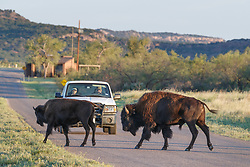 Bison crossing road in front of pickup truck, Texas State Bison Herd, Caprock Canyons State Park, Quitaque, Texas USA.