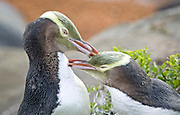 After a long day at sea, a pair of adult yellow-eyed penguins bond while preening each other's feathers.