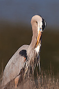Great Blue Heron preening.