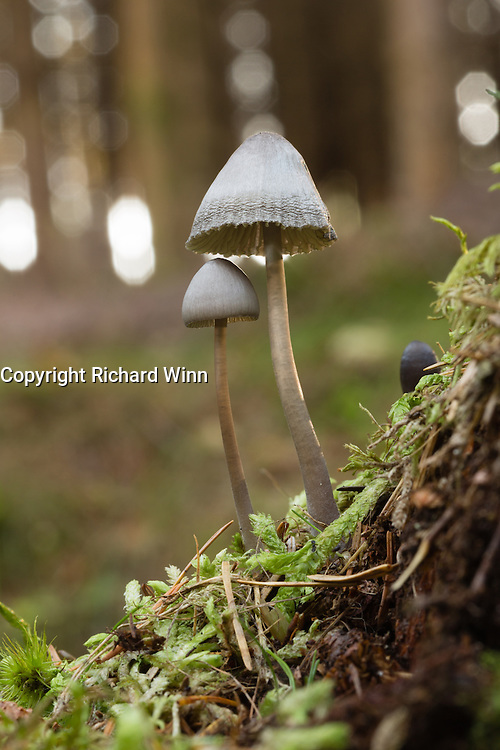 Small mycenoid fungus, possibly a Mycena sp. growing from moss in a Caledonian pine forest in the Scottish Highlands.