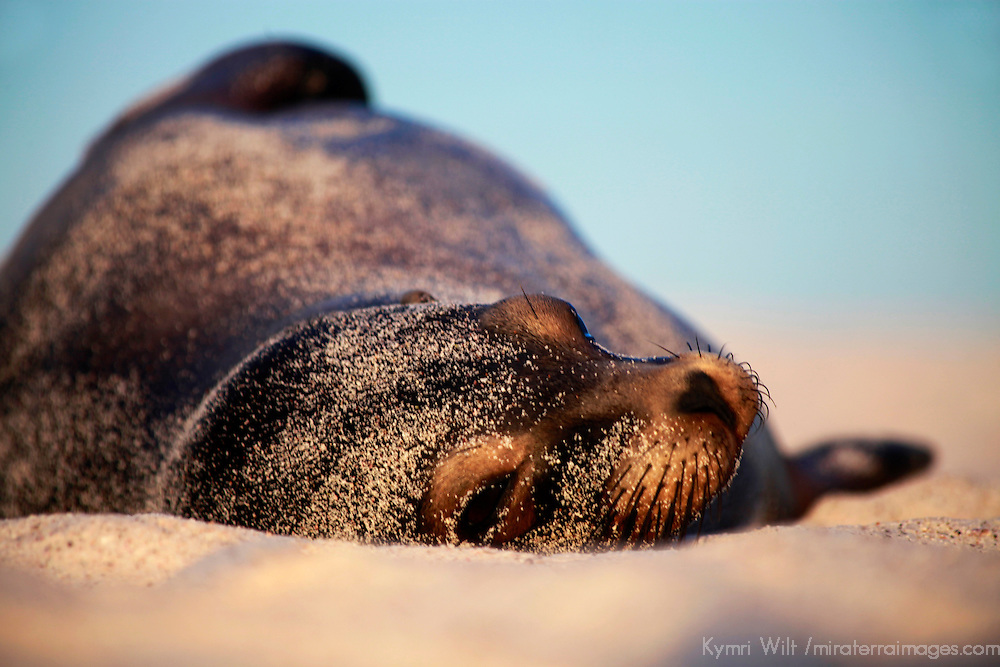 South America, Ecuador, Galapagos Islands. Sea Lion in sand and sun on Mosquera Island.