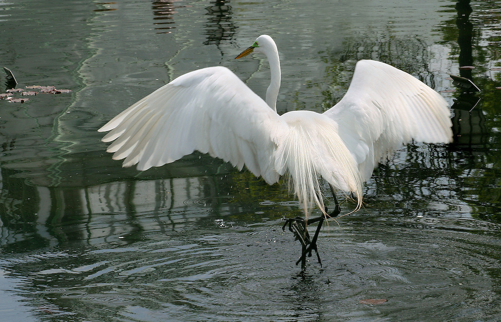 A large egret spreading its wings at the Lily Pond.