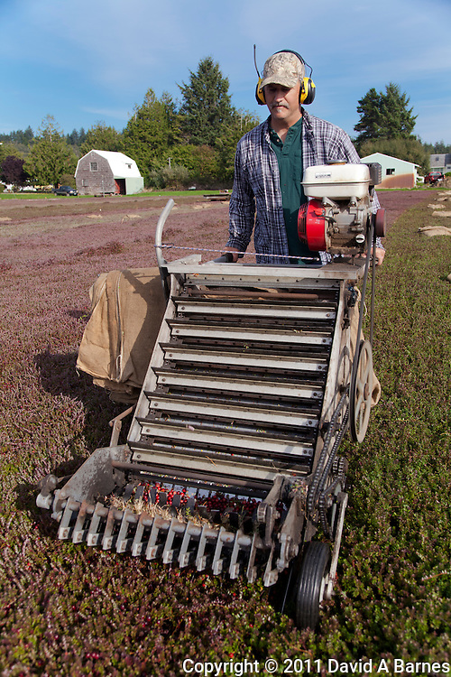 Farmer using machine to harvest Cranberries.