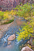 Fall color along the Virgin River, Zion National Park, Utah
