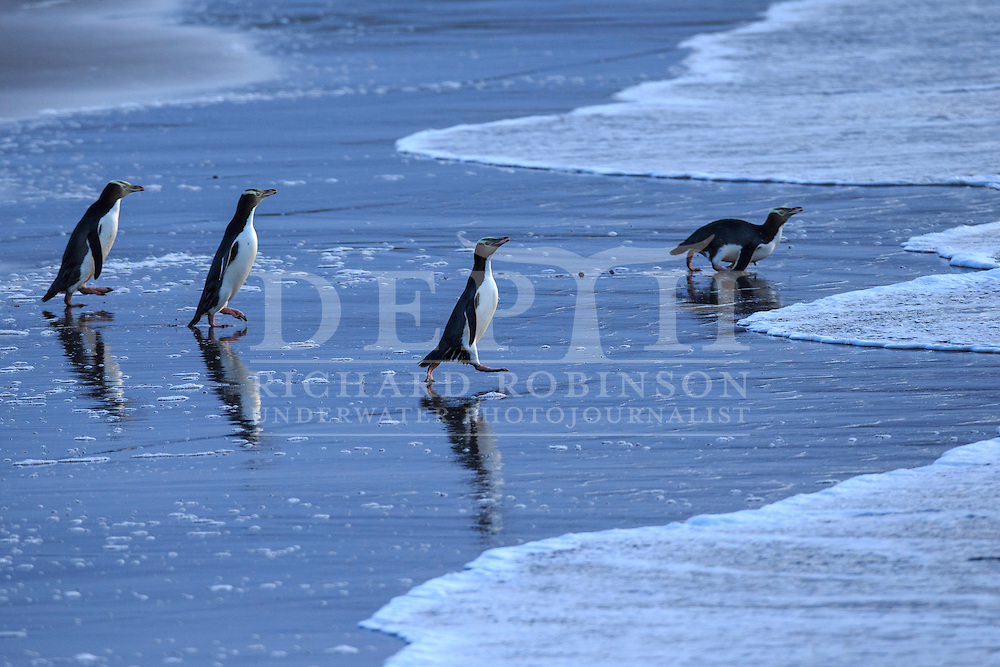 Megadyptes antipodes (Yellow eyed penguin) head to sea at dawn to forage for food at Sandy Bay, Enderby Island, Auckland Islands, New Zealand.<br /> 10 January 2016<br /> Photograph Richard Robinson &copy; 2016