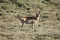 A male Antelope or sometimes known as a Pronghorn wanders the sage valleys outside Kemmerer Wyoming in June of 2016.