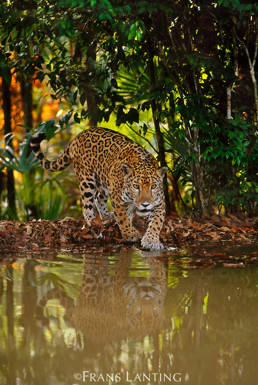 Jaguar at waterhole, Panthera onca, Belize