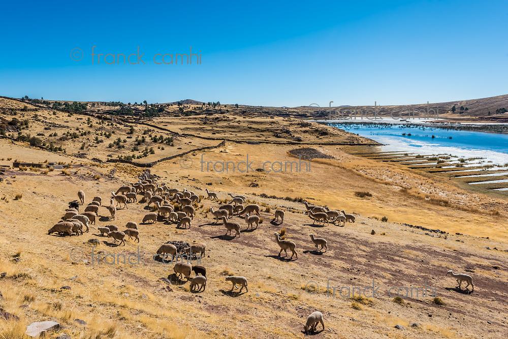 livestock in the peruvian Andes at Puno Peru