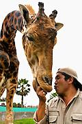 Fransisco Tito  trata de besar  a la jirafa que esta a su cuidado en el zoologico de la ciudad de Lima, Peru.