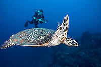 Hawksbill Turtle and Diver.Shot in West Papua Province, Indonesia