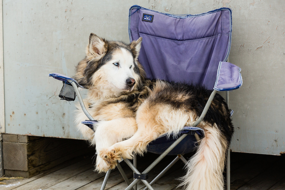 Team dog at the 41st Iditarod Trail Sled Dog Race chills out on a chair prior to the restart on Willow Lake in Southcentral Alaska.  Afternoon.