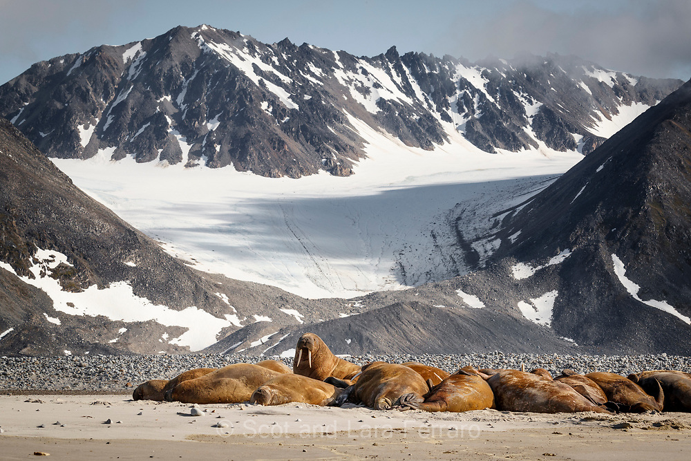 A walrus colony suns itself below the mountains and glaciers in Svalbard.