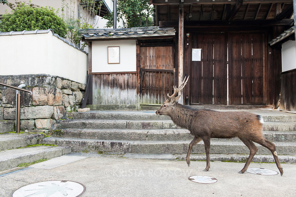A male buck wanders up Yamabe Path near the Five Storied Pagada. Japanese deer have become accustomed to tourists and wander freely on Miyajima Island in Hiroshima Prefecture, Japan.