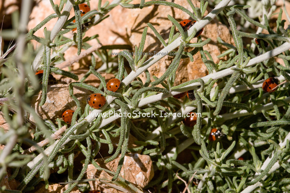 Israel, Hermon Mountain a column of ladybirds