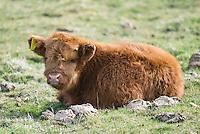 Scottish Highland breed calf on pasture