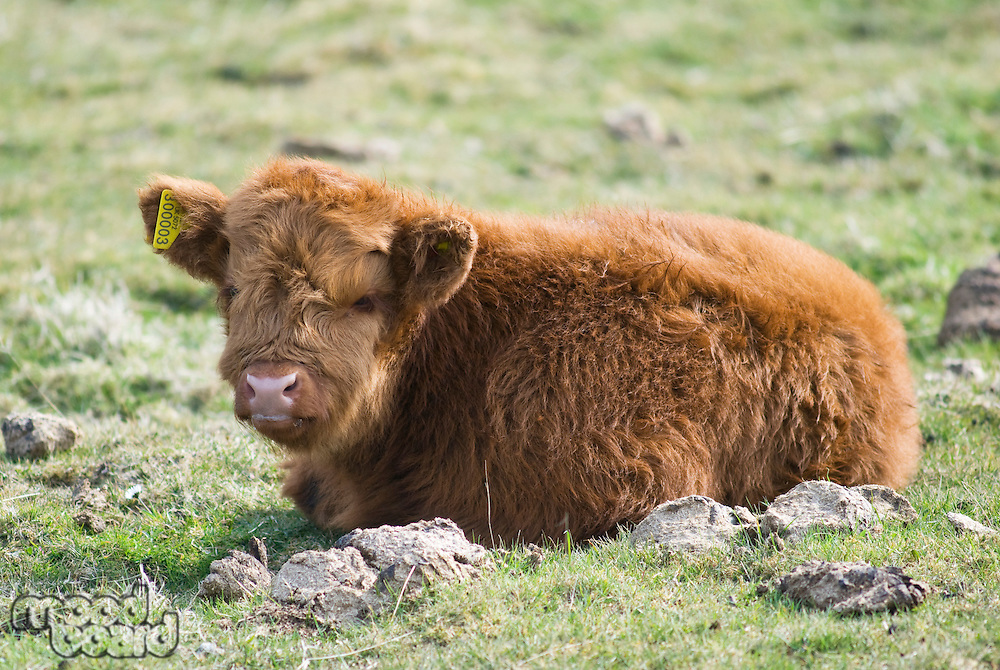 Scottish Highland breed calf on pasture
