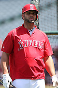 ANAHEIM, CA - APRIL 30:  Albert Pujols #5 of the Los Angeles Angels of Anaheim looks on during batting practice before the game against the Cleveland Indians at Angel Stadium on Wednesday, April 30, 2014 in Anaheim, California. The Angels won the game 7-1. (Photo by Paul Spinelli/MLB Photos via Getty Images) *** Local Caption *** Albert Pujols