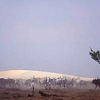 Ganado en la llanura con medanos de fondo, Parque Nacional Cinaruco-Capanaparo, Apure, Venezuela