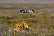 Male lions and nervous zebras,  Serengeti National Park, Tanzania.