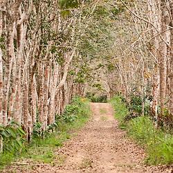 Fazenda de seringueiras, encontrado na Fazenda Cupido & Refúgio, em Linhares, Espírito Santo - Brasil.<br /> ENGLISH: Farm of rubber trees found on the Cupid & Refugio farm, at Linhares, Espirito Santo - Brazil.