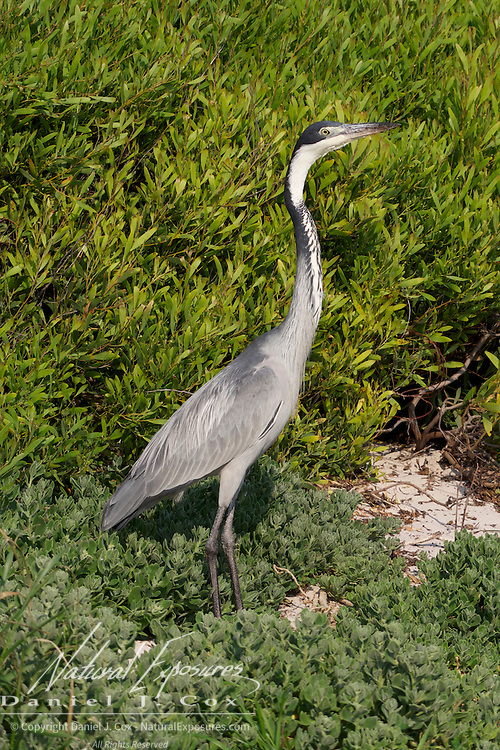 Black-headed Heron, Boulder Penguin Colony, Table Mountain National Park, South Africa.