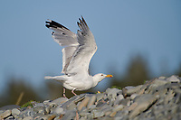 Herring Gull (Larus argentatus) perched on a rocks Cherry Hill Beach, Nova Scotia, Canada